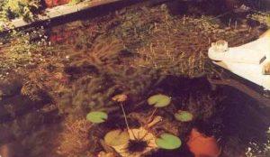 Groei van zuurstofplanten - heldere vijver