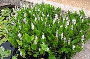 Snoekkruid: moerasplant voor de vijver