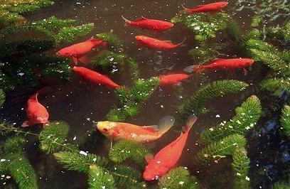 Vissen In Vijver : Vissen in de vijver welke vissen verzorging hoeveelheid en