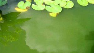 Zweefalgen zwemvijver bestrijden (groen water)